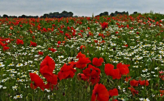 Poppyland by JohnYoung