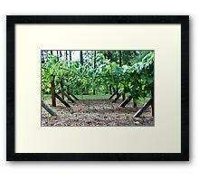 Back yard grapes Framed Print