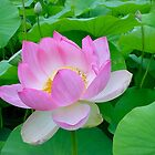 Beauty Of The Lotus! by Kay Cunningham