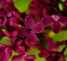 French lilac  by Chris Kiez
