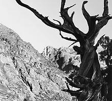 Juniper, June Lake, California by Pete Paul