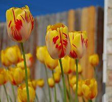 Spring Tulips by photosbymonty