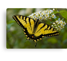 Eastern Tiger Swallowtail - Papilio glaucus Canvas Print