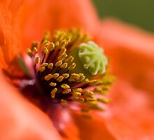 Poppy 2012 1 by Falko Follert