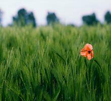 Poppy 2012 2 by Falko Follert