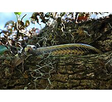 Yellow Rat Snake In A Live Oak Photographic Print