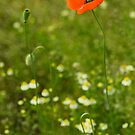 Poppy 2012 7 by Falko Follert