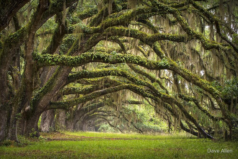 Avenue of Oaks - Charleston SC Plantation Live Oaks by Dave Allen