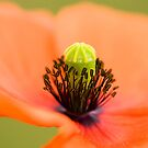 Poppy 2012 9 by Falko Follert