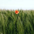 Poppy 2012 11 by Falko Follert