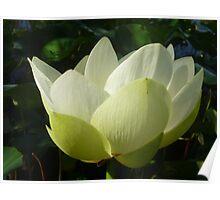 Profile of Lotus in Full Bloom Poster
