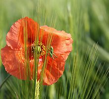Poppy 2012 14 by Falko Follert
