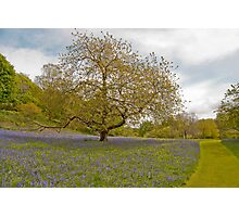 Bluebell Garden Photographic Print