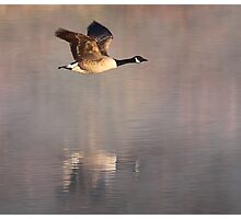Canada Goose in flight, Papercourt Gravel Pits, Send, Woking Photographic Print