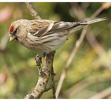 Redpoll, Frimley Photographic Print
