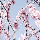 Cherry Blossom by shutterjunkie
