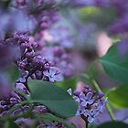 Lilac Dream by Stephen Thomas
