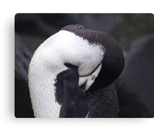 Chinstrap Penguin , Antarctica Canvas Print