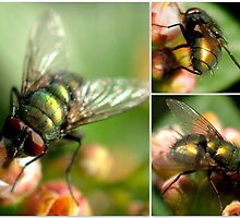 BLOW FLY by Betsy  Seeton