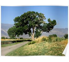 The Old Cottonwood Tree Poster