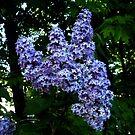 Lilacs by Jane Neill-Hancock