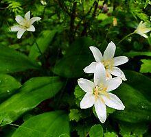 Queen's Cup - Clintonia uniflora by Digitalbcon