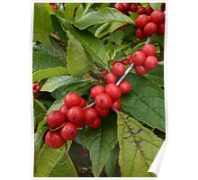 Red and Green Holly Berries Poster