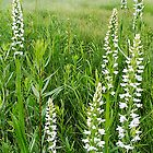 White Bog Orchid – Platanthera dilatata by Digitalbcon