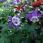 Colorado Columbine - State flower by Margot Ardourel