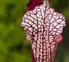 Cobra Lily, detail by papillonphoto