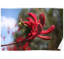 Red Furry Flower Poster