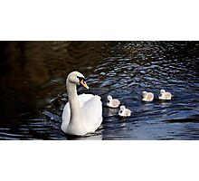 Swan With Cygnets Photographic Print