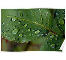 Drops on a rose leaf after a rain shower Poster