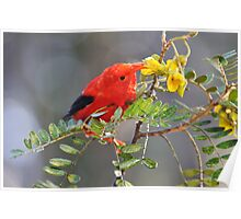 'I'iwi bird extracting nectar from yellow tree flowers in Maui, Hawaii Poster