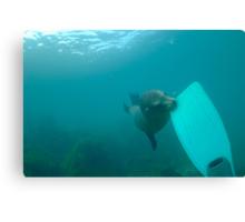 Sea lion biting a diver flipper, Underwater Canvas Print