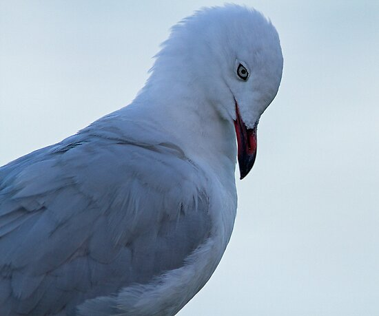 Silver Gull- Close Up by mncphotography