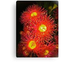 Eucalyptus flower zinging Canvas Print