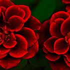 Two Red Roses by John Stuart Webbstock