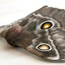 Side view of moth by Anna Phillips
