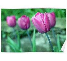 Blue Ribbon Tulips Poster