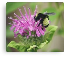Bee Balm and Bumble Canvas Print