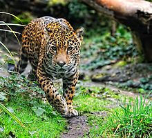 Woodland Park Jaguar by Dana Horne