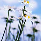 Daisies 2012 005 by Falko Follert