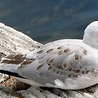 Sea Gull by virgosky