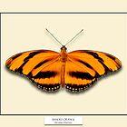 Banded Orange Butterfly - Specimen style print by Mark Podger