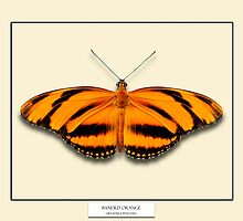 Banded Orange Butterfly - Specimen style print by Mark Podger