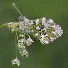 Orange tip butterfly 2012 by Stacey  Purkiss