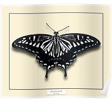 Asian Swallowtail Butterfly - Specimen style print Poster