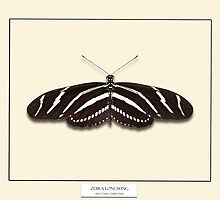 Zebra Longwing Butterfly - Specimen style print by Mark Podger
