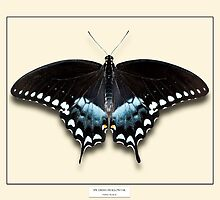 Spicebush Swallowtail Butterfly - Specimen style print by Mark Podger